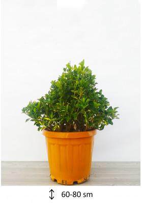 Euonymus Aurea