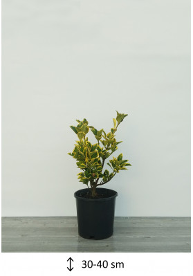 Euonymus Japonica Aurea 30-40
