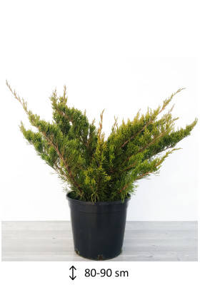 Juniperus Mint Julep