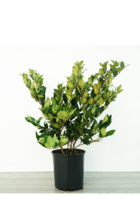 Ligustrum Texanum (NEW)