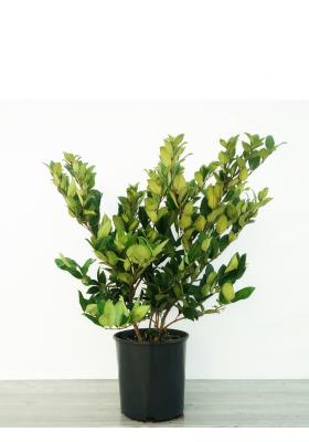 Ligustrum Texanum (NEW)