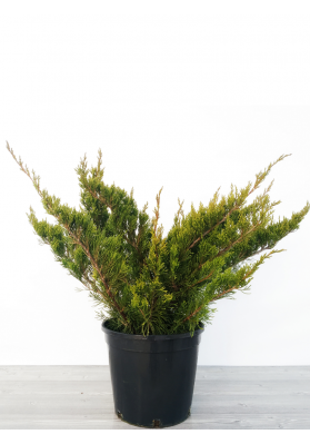 Juniperus Mint Julep