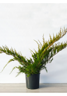 Juniperus MIX