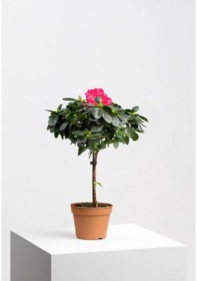 Azalea Stem Pink