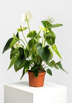 Anthurium Andreanum White