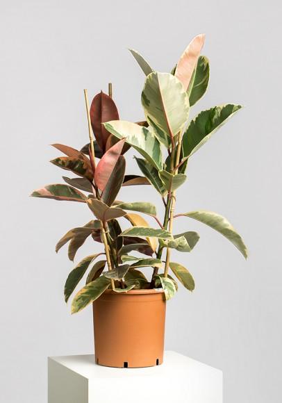 Ficus 3P Belize