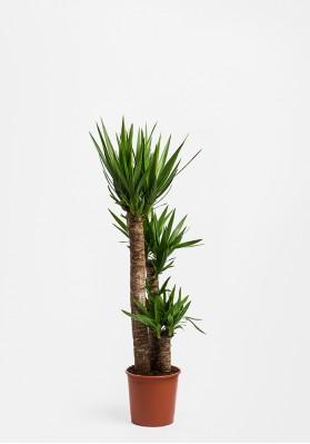 YUCCA Palm