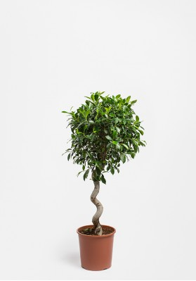 Ficus Spiral