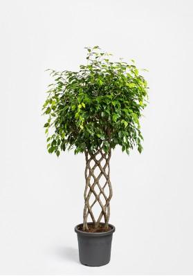 Ficus Koker Benjamina