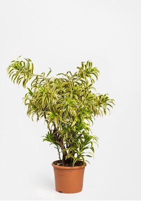 "Dracaena Reflexa ""Song of India"""
