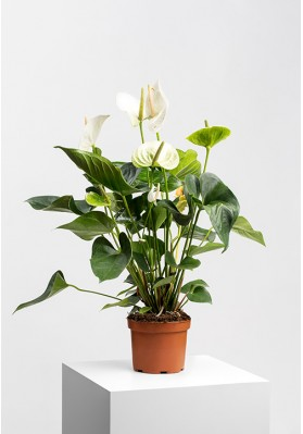 Anthurium Andreanum Dakota White