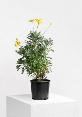 Euryops Сhrysanthemoides