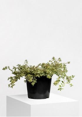 "Abelia X Grandiflora ""Kaleidoscope"""