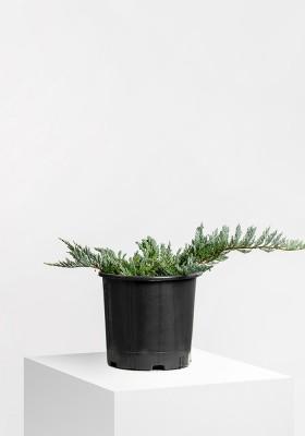 Juniperus Sabina Blue Sparkle