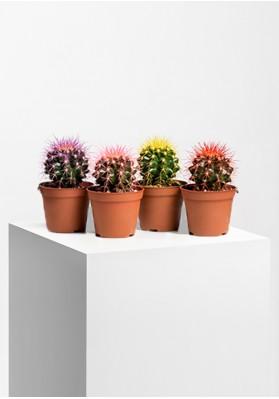 Cactus Geverfd