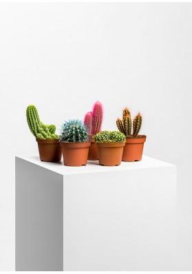 Qruzoni Kaktusu