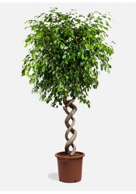 Ficus Exotica Spiral