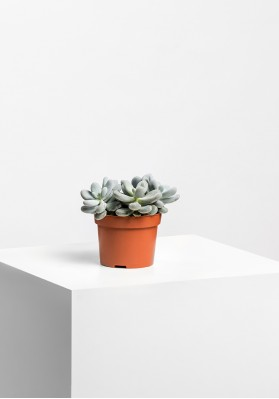 Succulenten Mix P6.5