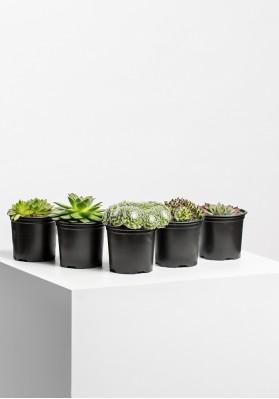 Succulenten Mix