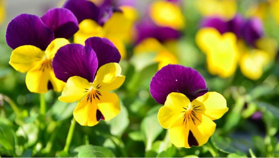 Vittrok bənövşəsi (viola wittrockiana)