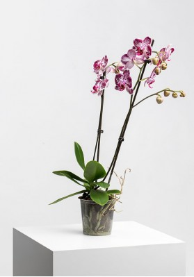Phalaenopsis 2st 14+ mix