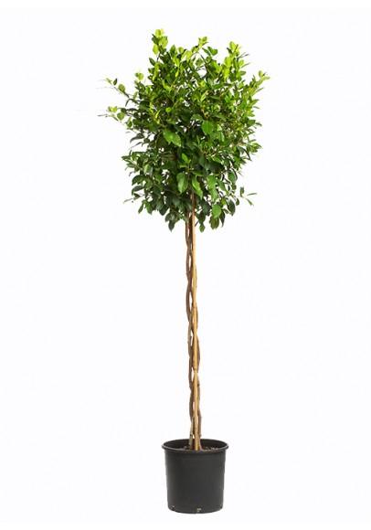 Ficus Exotica Braided
